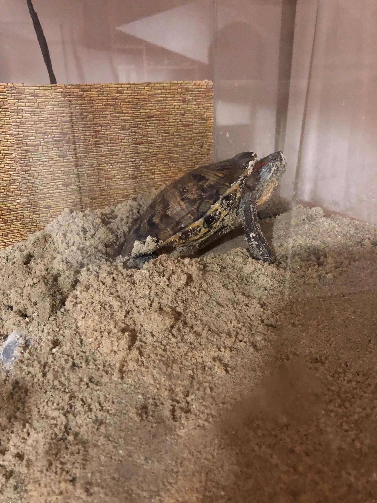 su kaplumbağası yumurtlaması