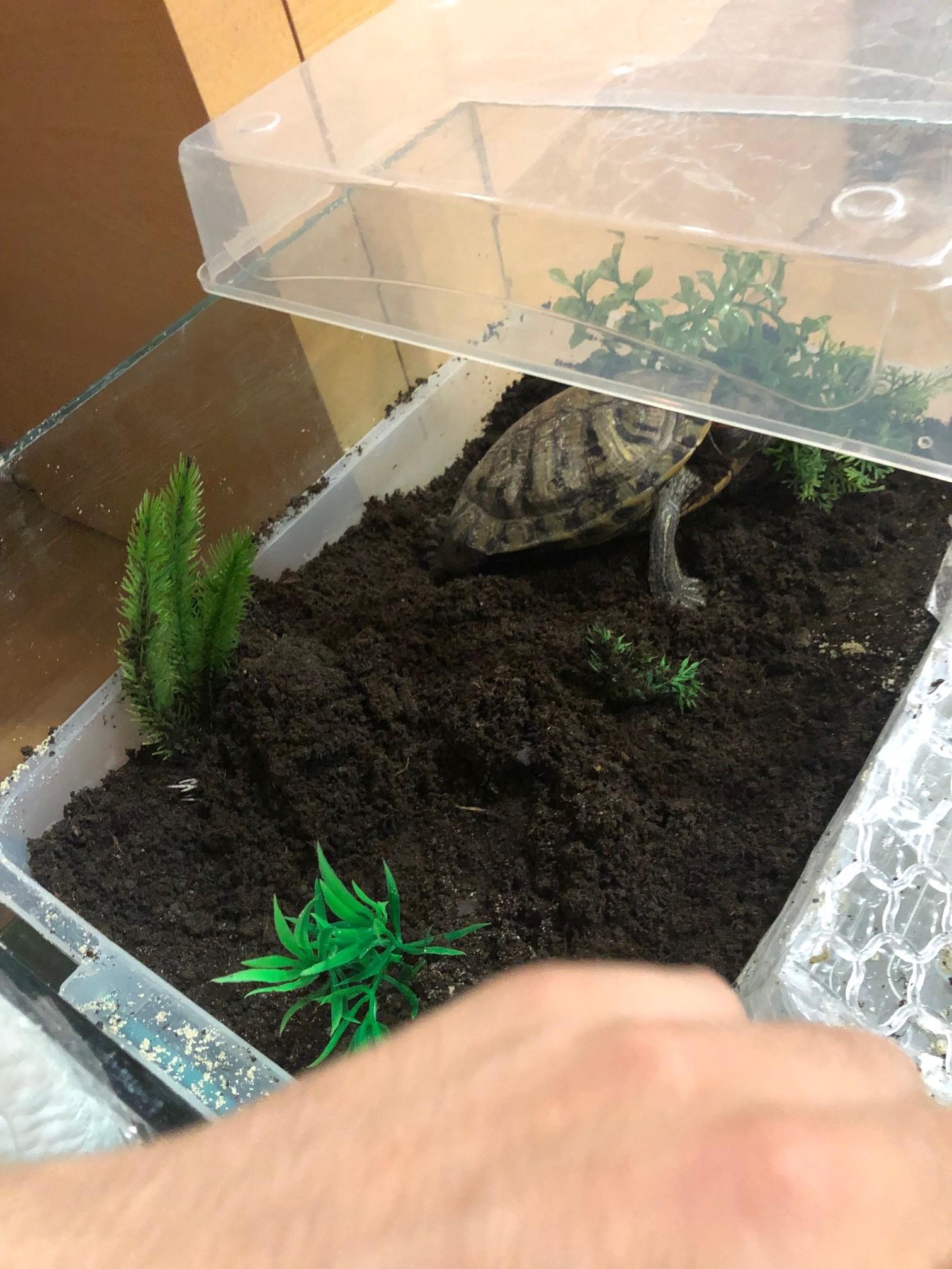 kaplumbağa yumurtlama