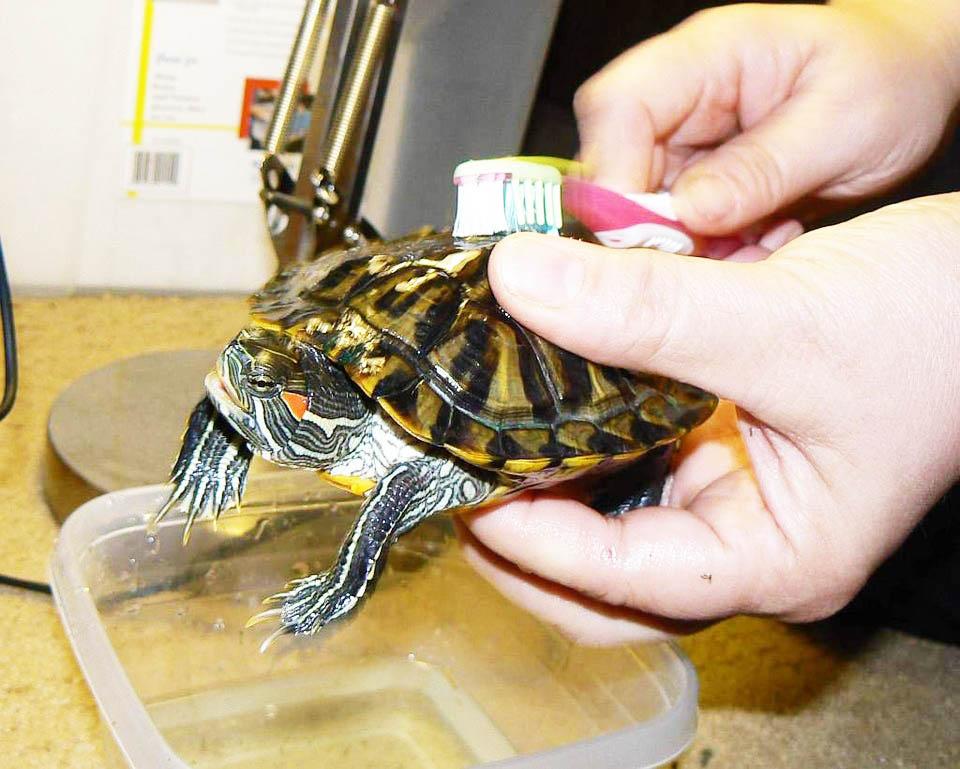 Su Kaplumbağası Kabuğu Nasıl Temizlenir?