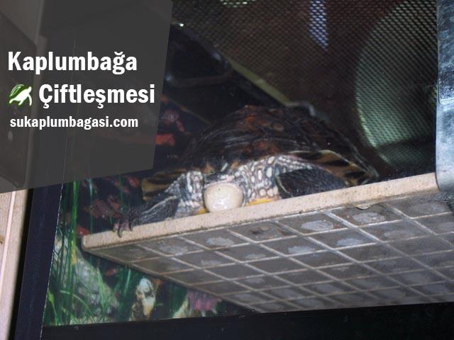 kaplumbağa çiftleşmesi