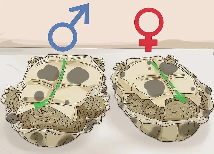 Su kaplumbağası cinsiyeti