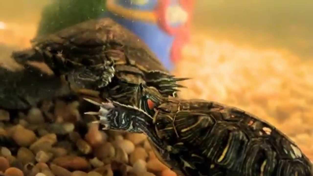 Su Kaplumbağası El Titretmesi