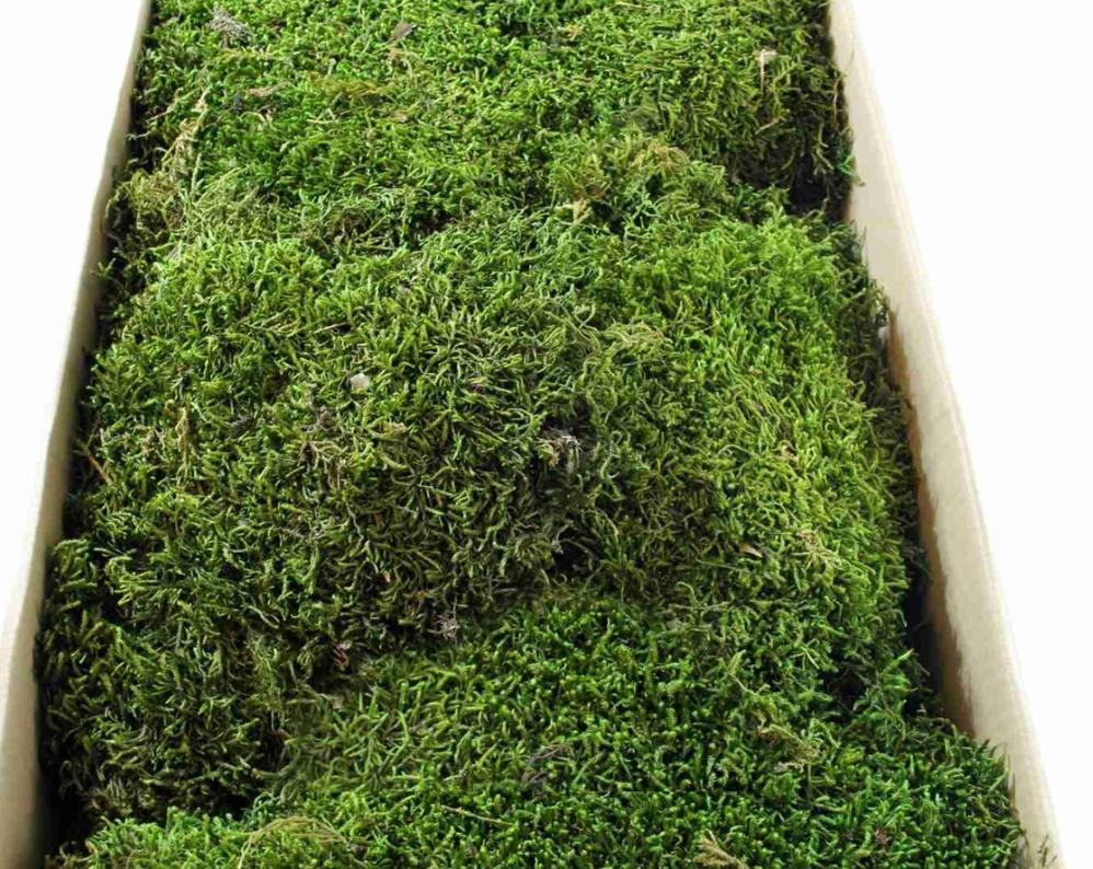 şoklanmış yosun