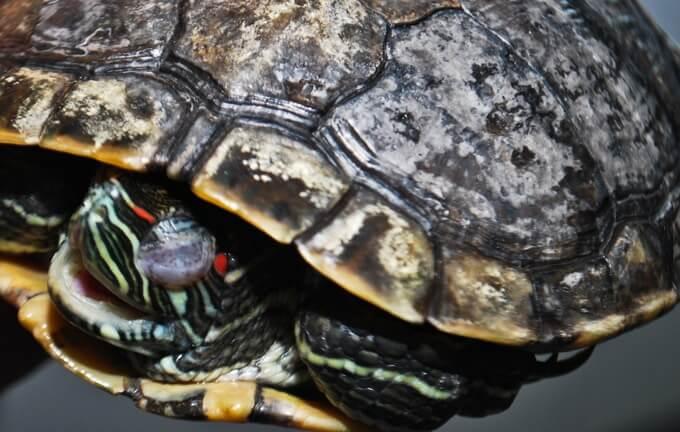 turtle-shell-rot.jpg
