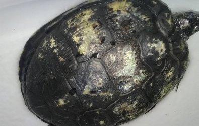 Su kaplumbağalarında kabuk çurumesi