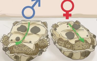 Bir Kaplumbağanın Cinsiyeti Nasıl Anlaşılır