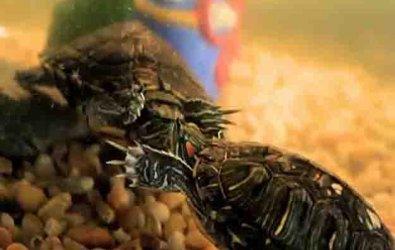 Kırmızı Yanaklı Su Kaplumbağası El Titretmesi Ne Anlama Geliyor?