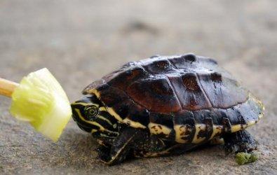 Su Kaplumbağalarında Beslenme (Her Yaş İçin)